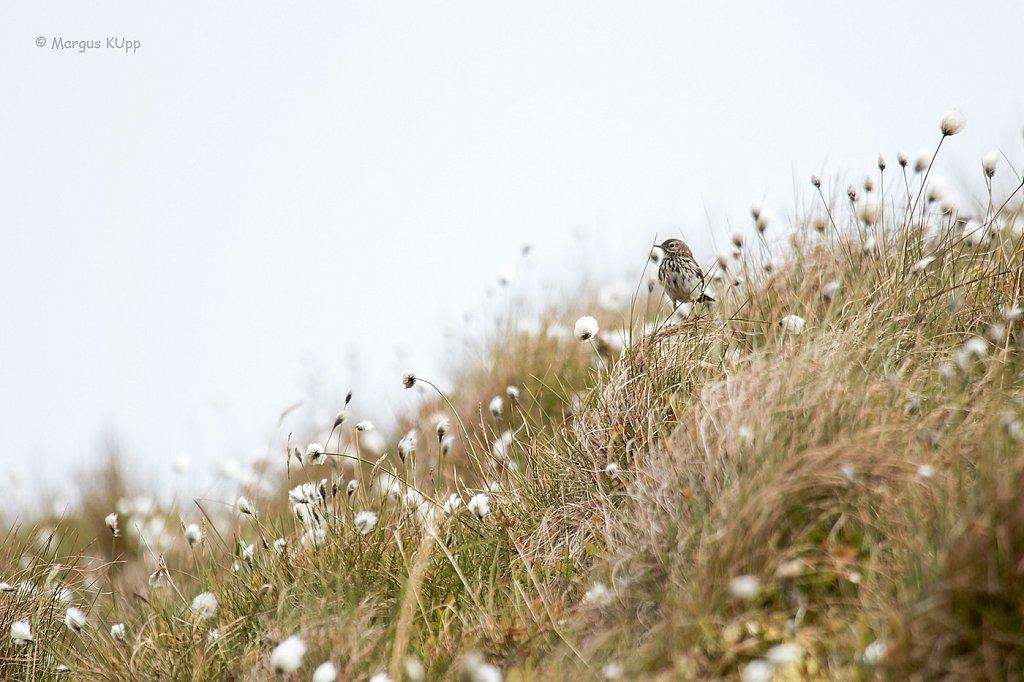 38.Anthus petrosus - Randkiur -  Lauluhoos